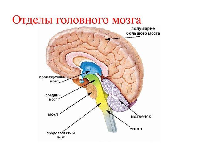 iz-kakih-otdelov-sostoit-golovnoy-mozg