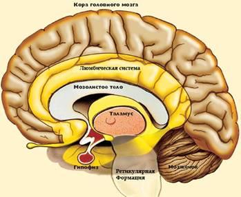 limbicheskaya-sistema-mozga-8212-chto-eto